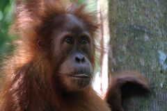 Wild Orang Utan in the jungle stock image