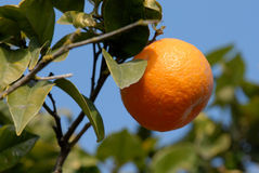 Wild orange royalty free stock photography