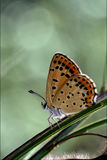 Wild orange  butterfly. On a green leaf in the bush Royalty Free Stock Photos