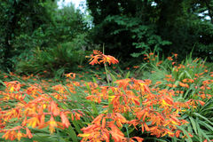 Wild orange crocosmia Royalty Free Stock Image
