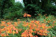 Wild Orange Crocosmia Royalty Free Stock Image
