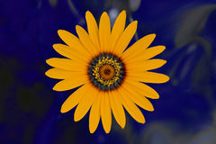 Wild orange flower Stock Photography