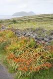 Wild Orange Flower - Montbietia Plant on Roadside Royalty Free Stock Photography
