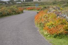 Wild Orange Flower - Montbietia Plant on Roadside Royalty Free Stock Image