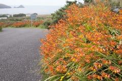 Wild Orange Flower - Montbietia Plant on Roadside Stock Photos