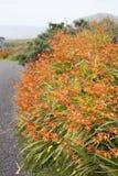 Wild Orange Flower - Montbietia Plant on Roadside Royalty Free Stock Images