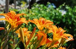 Wild Orange Lilies Royalty Free Stock Photo
