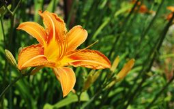 Wild Orange Lily. An orange lily flower, growing wild in north east Italy Stock Image