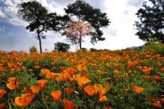 Wild orange poppies flower field in morning, Chiang Mai, Thailan Stock Photos