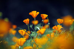 Wild orange poppies flower field in morning, Chiang Mai, Thailan Stock Image