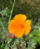 Wild Orange Poppy Stock Images
