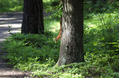 Wild orange squirrel. Wild orange squirrel over a forest tree during a sunny summer day stock images