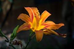 Wild orange tiger lily Stock Photos