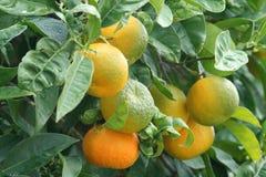 Wild orange tree. Production of sour oranges for marmalade Stock Image