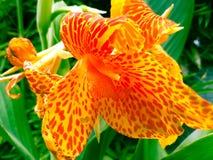 Wild. Orange type Of flower Royalty Free Stock Images