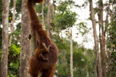 Wild Orangutan in Borneo forest. Stock Photography