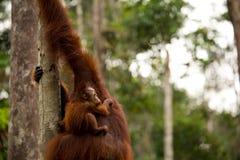 Wild Orangutan in Borneo forest. Stock Images