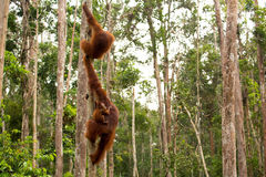 Wild Orangutan in Borneo forest. Royalty Free Stock Images
