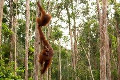 Wild Orangutan in Borneo forest. Royalty Free Stock Images