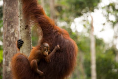 Wild Orangutan in Borneo forest. Stock Image