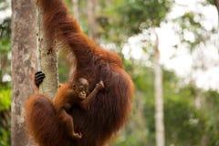 Wild Orangutan in Borneo forest. Royalty Free Stock Photos