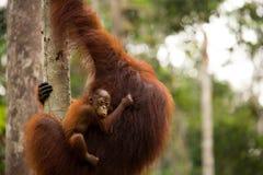 Wild Orangutan in Borneo forest. Stock Image