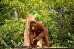 Wild Orangutan in Borneo forest. Royalty Free Stock Image