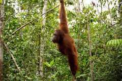 Wild Orangutan in Borneo forest. Royalty Free Stock Image