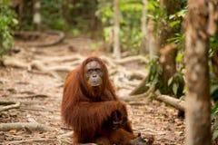 Wild Orangutan in Borneo forest. Royalty Free Stock Photo