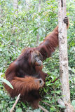 Wild orangutan in Borneo Stock Photo