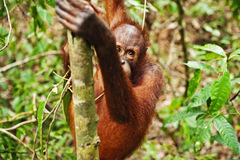 Wild orangutan in rain forest on Borneo Royalty Free Stock Image