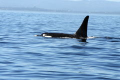 Wild Orca. Single Orca swimming in the Pacific Ocean stock images