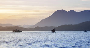 Wild Orca Breach Sunset Mountains Tofino British Columbia. Orca ( killer whale ) breaches at sunset with mountains in the background near Tofino BC Canada stock photos