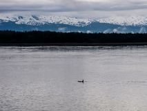 Wild Orca Killer Whale at Sea With Snow Covered Mountains in Bac. Killer Whale or Orca at the surface of the ocean in Alaska with snow covered mountains in the Royalty Free Stock Photo