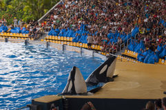 Wild orca show Royalty Free Stock Photo