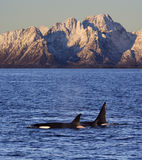 Wild orcas, Vestfjord, Lofoten, Norway