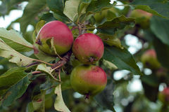 Wild Orchard Apples Stock Images
