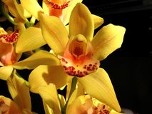 Wild orchid. Flowers - A beautiful wild yellow orchid Royalty Free Stock Photography