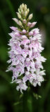 Wild Orchid Stock Photos
