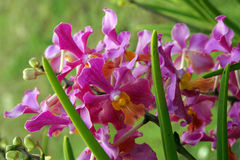 Wild Orchid. Royalty Free Stock Photo