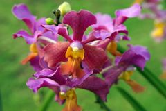 Wild Orchid. Stock Photos