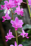 Wild orchid Royalty Free Stock Photos