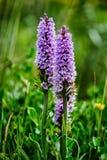 wild orchid Royaltyfri Foto