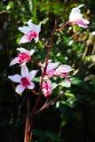 wild orchid Royaltyfria Foton