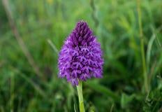 wild orchid Royaltyfri Bild