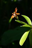 wild orchid Royalty Free Stock Photo