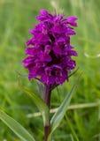 wild orchid Arkivbilder