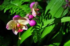 wild orchid Royaltyfri Fotografi