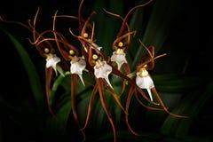 Wild orchid Ada keiliana, Brassia keiliana, Colombia and Venezuela. Orange flower, nature habitat. Beautiful orchid bloom, close-u Stock Photos
