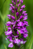 Wild orchid Stock Images